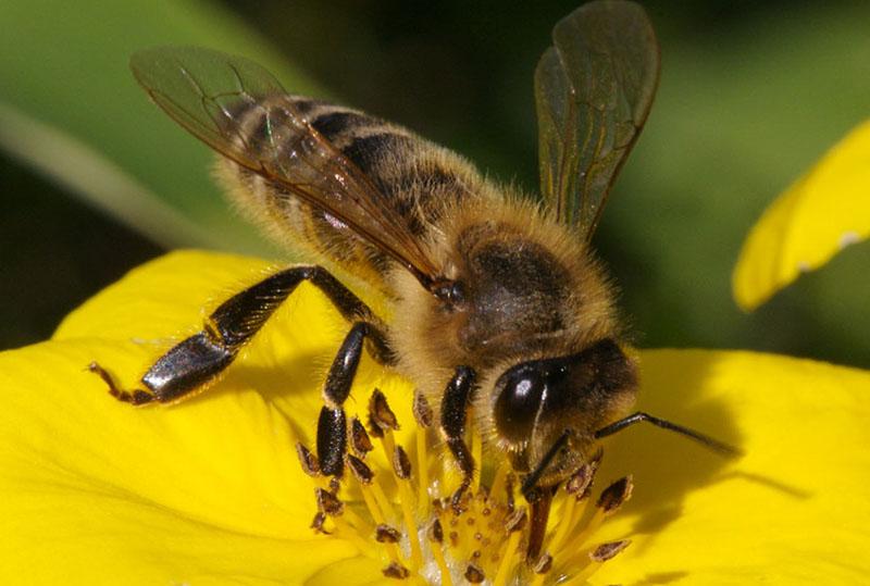 Пчела обыкновенная