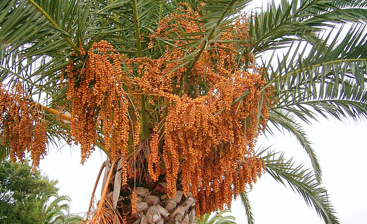 Плоды финиковой пальмы из косточки в домашних условиях